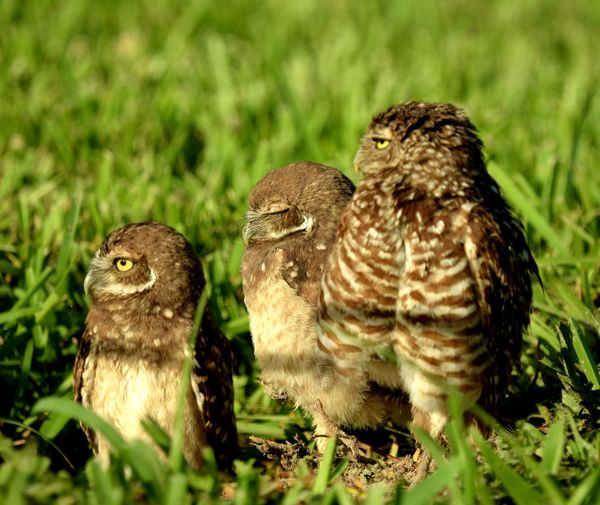 Beauty in nature Bird Bird Of Prey Owl Mourning Dove Togetherness Young Bird Grass Animal Themes Close-up Feather  Animal Family