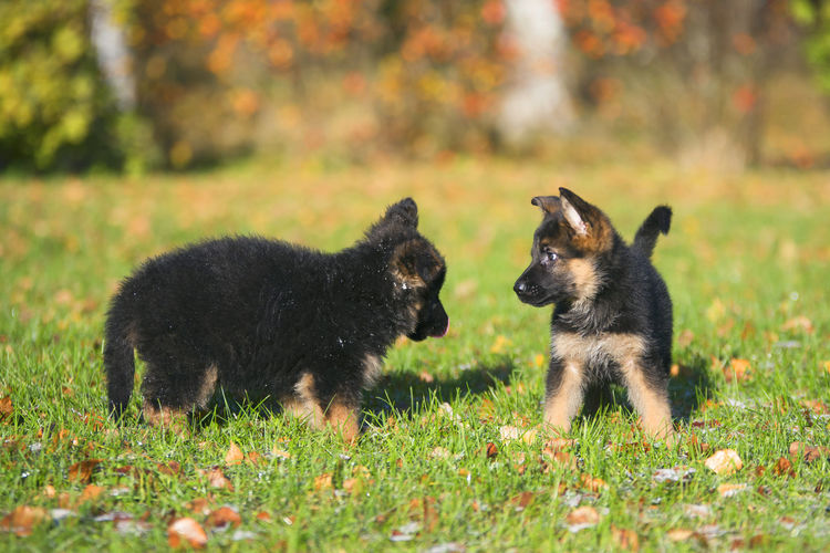 EyeEm Best Shots Taking Photos Animal Themes Animals Animals In The Wild Day Dog Domestic Animals Enjoying Life Field German Shepherd Grass Mammal Nature No People Outdoors Photography Puppy Togetherness Young Animal