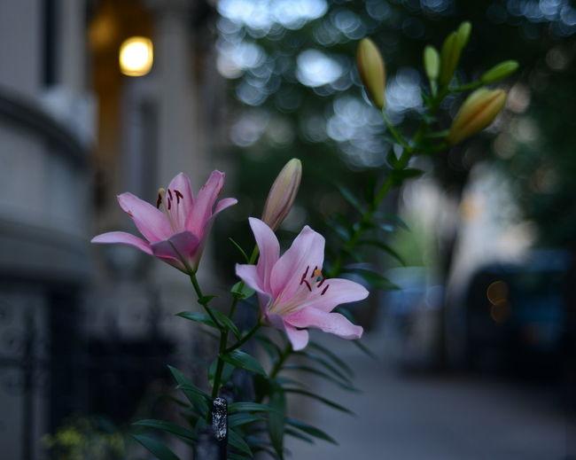 Flowers Brooklyn Street Depth Of Field Park Slope