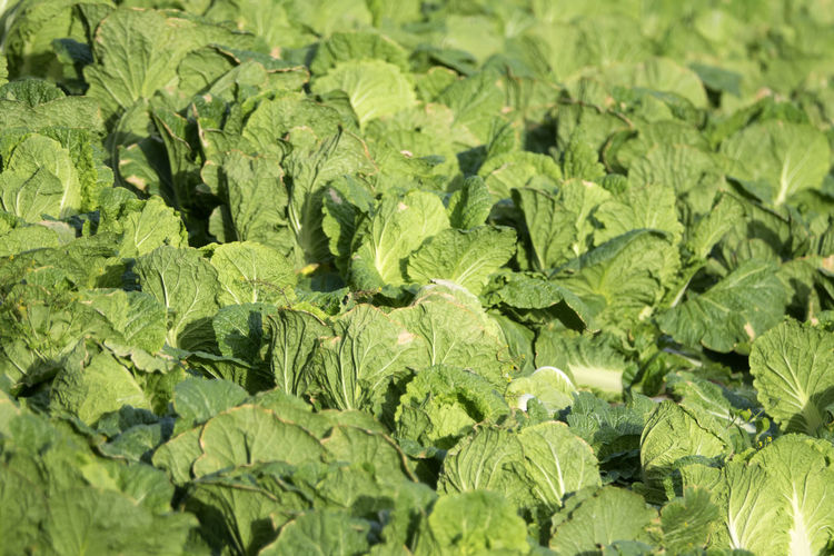 Full frame shot of cabbages growing on farm