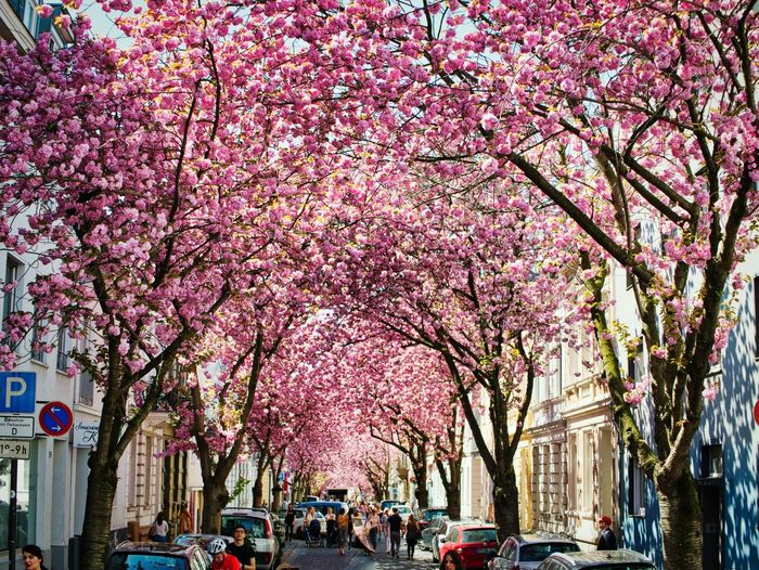 Cherry Street Cherry Blossoms Cherry Plant Architecture Flower Tree City Nature Street Pink Color Growth Day Fragility