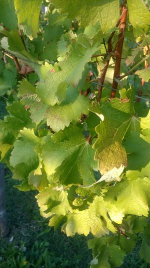 Vineyard Vitovska leaves. Very good win of Karst! Trieste Green Color Growth Nature Leaf No People Day Outdoors Close-up Beauty In Nature Plant Freshness Vitovska Excellent Karst Fruit Slovenia Border Healthy Eating Vine - Plant Food And Drink Italy Border Stories EyeEm Selects Photography