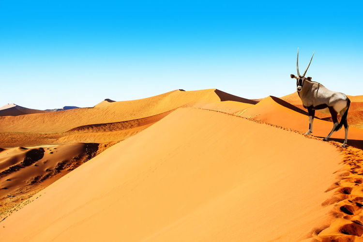 Oryx is wandering the summit of the dune of Sossuvlei in Namibia and looks to the viewer Namib Desert Namibia Sossusvlei Animal Themes Arid Climate Blue Clear Sky Day Desert Landscape Mammal Nature One Animal One Person Oryx Oryx Gazella Outdoors People Sand Sand Dune Scenics Sky