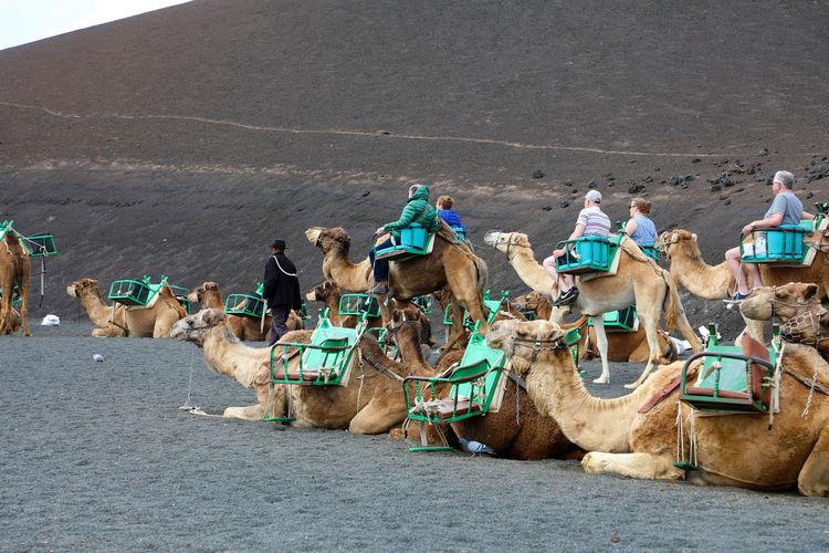 Timanfaya National Park, Lanzarote Timanfaya Timanfaya Centro Timanfaya National Park Tourist Camel Camels Dromedary Fire Park Timanfayanationalpark Tourism Travel Destinations Volcanic Landscape Volcano Yaiza Yaizah