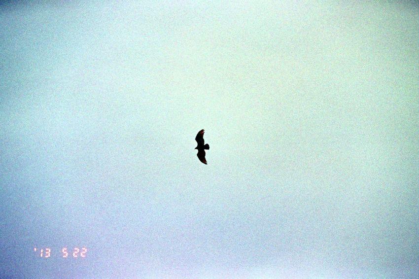 Carmel Highlands Date Stamp Bird Clear Sky Flying No People Silhouette Spread Wings Outdoors Film Olympus Koduckgirl 2013