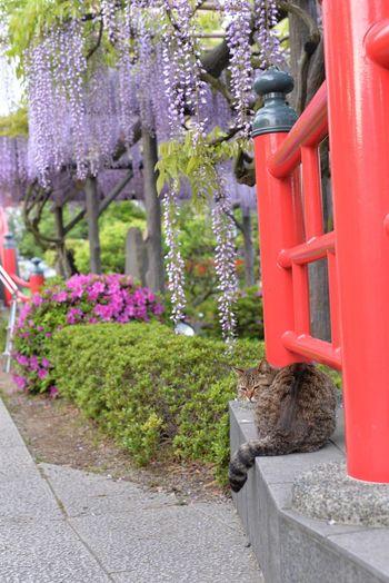 Flower Flowerporn Cute Tokyo Japan Cat Flowers 亀戸天神 藤 Cats