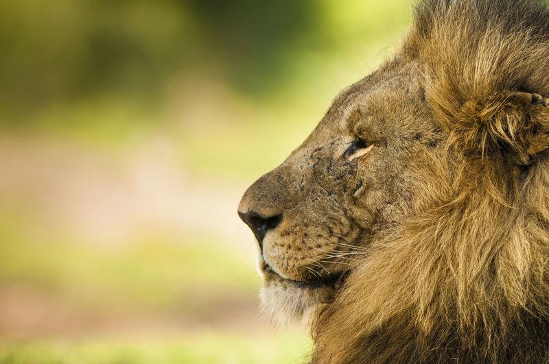 Close-Up Of Lion