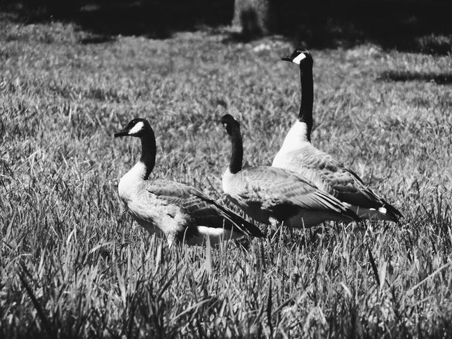 Cold Water Michigan Waffle Farm Camp Ground Nature Photography Nature's Diversities Geese Geese In A Field Geese On Land Geese At The Lake Nature On Your Doorstep Geese In Nature Geese In Flight Geese Photography Nature_collection Nature Monochrome Photography