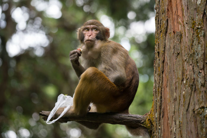 monkey eating food stolen from tourists in Zhangjiajie National Forest park, Hunan province, China Monkey Monkey Forest Ape China Zhangjiajie Nature Mammal Animal Themes Animals In The Wild Animal Wildlife Macaque Macaque Monkey Macaca Park Jungle