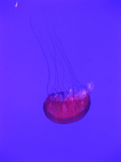 Aquarium Blue Blue And Pink Sea Life Upside Down Jellyfish