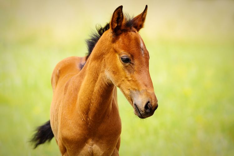 cute foal Field Farm Equine Young Animal Brown Green Grass Quarter Horse Baby Horse Horse Photography  Horses Herd Rural Cute Cute Animals Baby Animals Portrait Close-up Grass Foal HEAD Horse Pony Herbivorous