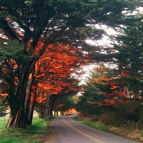 The evening sun set the trees on fire with a brilliant red glow. Bolinas Mesaroad Marin California