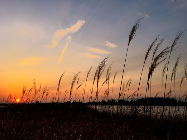 Enjoying Life IPhoneography IPhone Iphone6s Sky View OSAKA Japan Showcase: February River Riverside River View Sunset Bridge Bright Japanese Silver Grass すすき 大阪 大川 淀川 冬 Wintertime Autumn Colors Perspectives On Nature
