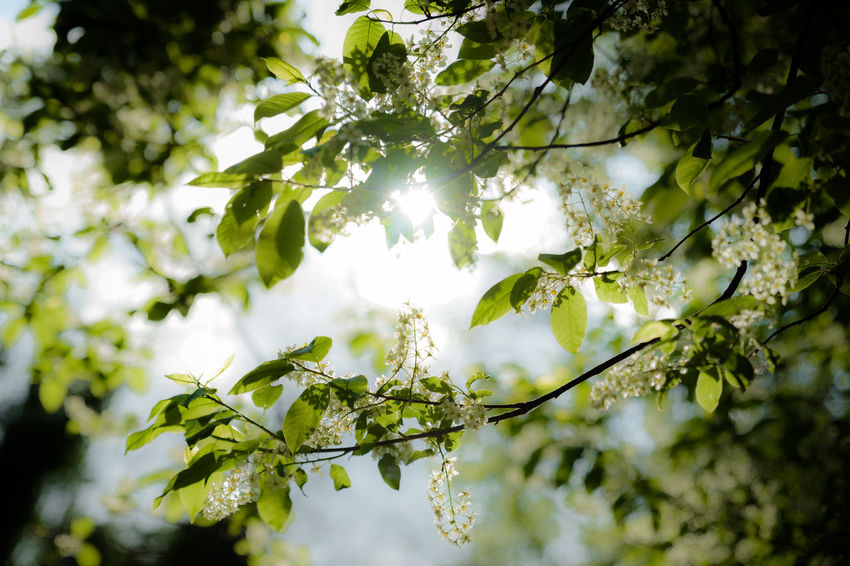 sun is shining throw leafs Sunlight Beauty In Nature Branch Day Flower Fragility Freshness Green Color Growth Leaf Nature No People Outdoors Plant Spring Springtime Summer Sun Tree