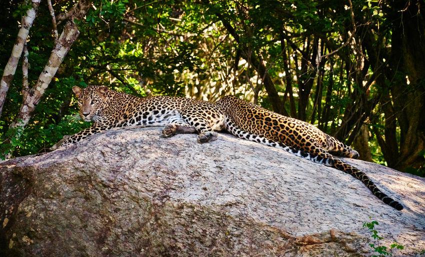 Leopards Lounging Lazily, Yala National Park, Sri Lanka Big Cats Leopard Photo Sri Lanka Travel Travel Photography Wildlife Photography Leopards Travel Destinations Wildlife