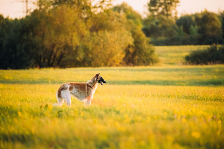 Side view of dog standing on grassy field