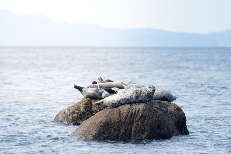 Seals on rocks in sea against sky