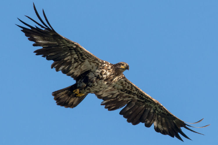 Animal Themes Bald Eagles Beauty In Nature Bird Bird Of Prey Blue Clear Sky Day Eagle Flying Juvenile Bald Eagle Low Angle View Nature No People Outdoors Sky Spread Wings Wildlife