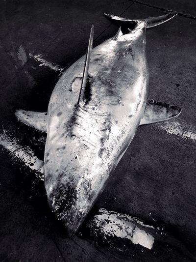 Fish Market Shark Monochrome カラーでは、とてもアップは出来ません😱