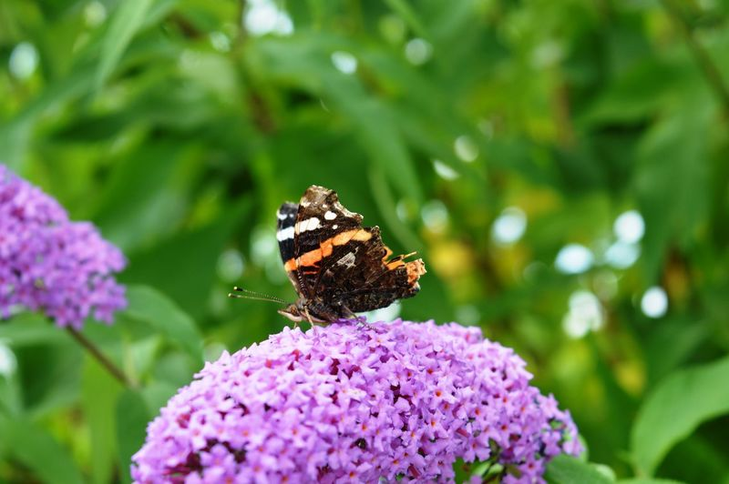Purple Pollination Plant Petal Perching Outdoors One Animal No People Nature Insect Growth Green Color Full Length Freshness Fragility Focus On Foreground Flower Head Flower Day Close-up Butterfly - Insect Beauty In Nature Animals In The Wild Animal Wildlife Animal Themes