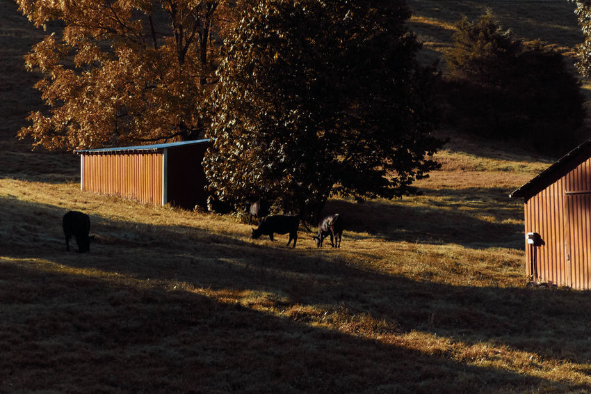 Autumn Rural Rural America Animal Themes Architecture Beauty In Nature Day Domestic Animals Fall Edit Field Grass Growth Livestock Mammal Nature New Edit No People One Animal Outdoors Pets Rural Scene Tree