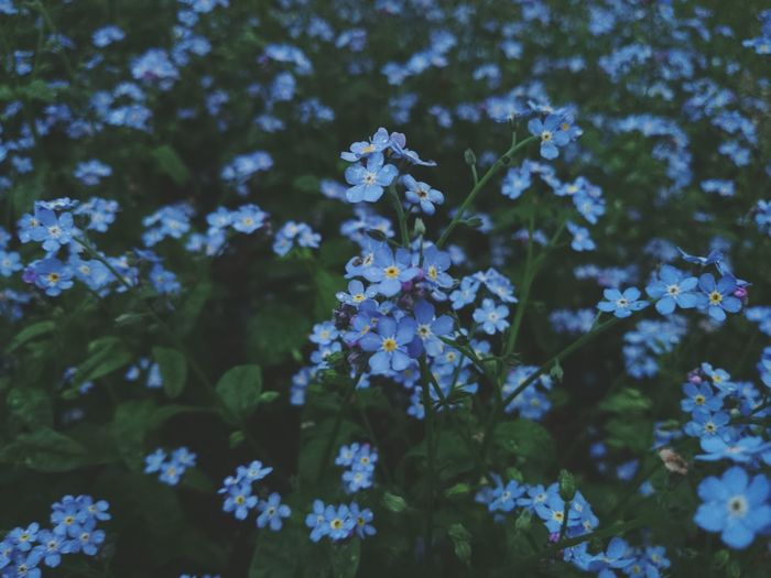 Flower Growth Fragility Nature Beauty In Nature Plant No People Freshness Petal Day Outdoors Flower Head Close-up Mood Of The Day Leaf Plant Park After Rain Blue Blue Flowers Freshness Growth Forget Me Not
