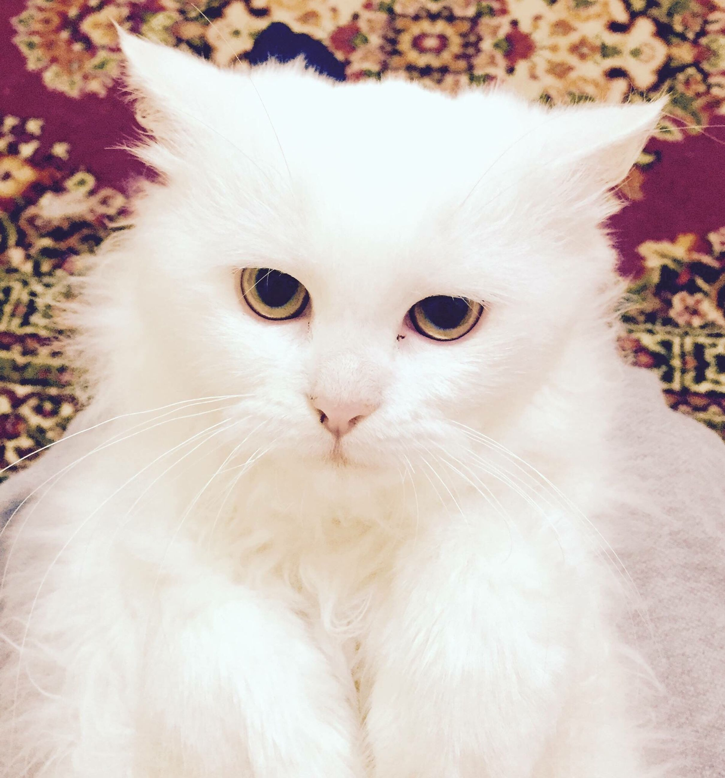looking at camera, animal themes, domestic cat, portrait, persian cat, pets, one animal, domestic animals, close-up, no people, feline, mammal, nature, outdoors, day