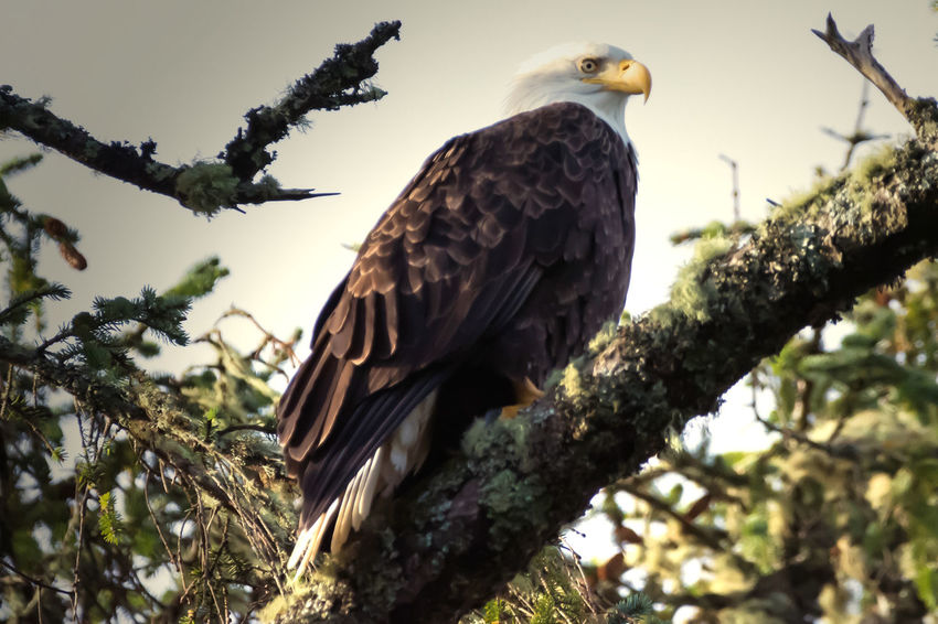Bald Eagle Perched in a tree posing for the camera photo series Tree Animals In The Wild Bird Animal Wildlife Perching Animal Animal Themes Branch One Animal Low Angle View Nature No People Bird Of Prey Day Outdoors Eagle Photo Series Ocean Shores, WA Posing Bird Photography Birds Of EyeEm  Bird Watching Bird Wildlife Birds Bald Eagle