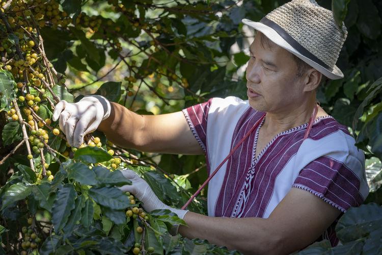 Man plucking fruit