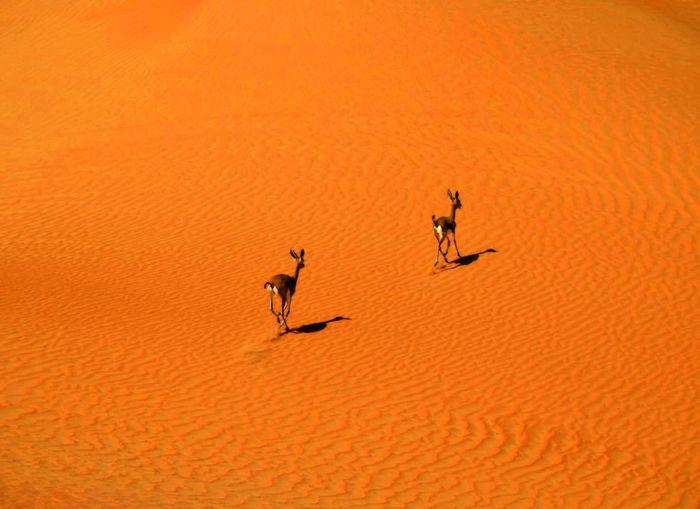 High angle view of gazelle at arabian desert