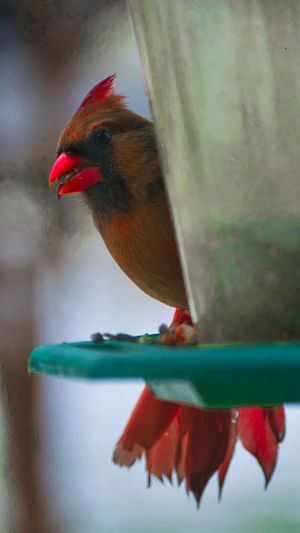 Cardinal Animal
