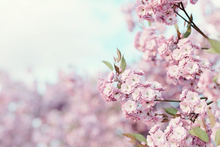 japanese cherry blossom in depth of field Japanese Culture Japan Japanese  Flowering Plant Flower Freshness Fragility Plant Cherry Blossom Flower Head Cherry Tree Pink Color Blossom Nature Branch Springtime Beauty In Nature Close-up Outdoors Focus On Foreground