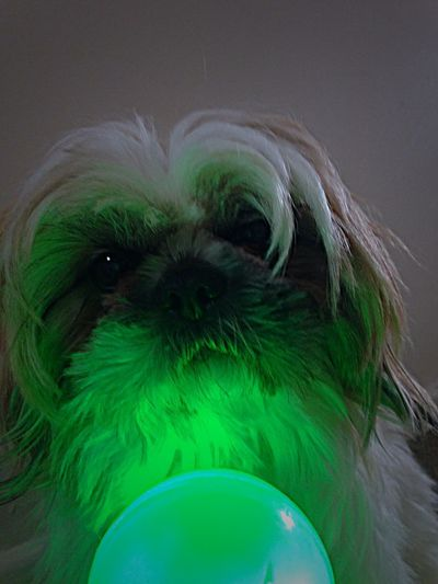 Illuminated Ball Glowing Animal Animal Themes Green Color One Animal Close-up Canine Pets Domestic Animals Dog Animal Hair Hair Animal Body Part No People Multi Colored Portrait Domestic Indoors