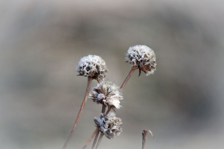 Fragility Vulnerability  Beauty In Nature Focus On Foreground Close-up Nature Selective Focus Softness Nature_collection Nature Photography Naturelovers Beautiful Nature Natural Beauty Scenics - Nature Cold Cold Temperature Winter EyeEm Nature Lover Bokeh Frozen Frosty Mornings Frosty Flower Head Flower Natural Pattern
