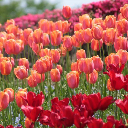 チューリップ Flower Head Flower Poppy Flowerbed Red Summer Springtime Petal Multi Colored Uncultivated