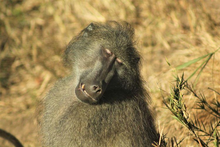 Enjoying The Sun South Africa Animal Themes Animal Wildlife Animals In The Wild Baboon Close-up Day Grass Krugernationalpark Mammal Monkey Nature No People One Animal Outdoors Sitting Sunbath