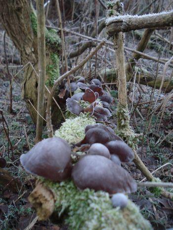 Dezember Judasohren Mit Eis überzogen Mu-Err Peenemünde Beauty In Nature Essbare Pilze🌾 Fungus Gesunde Ernährung Mushroom Nature No People Outdoors