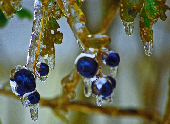 Cambridge Ontario Frozen Berries Ice PhotoMagik-Pix Tree Winter After Effects Beauty In Nature Canada Close-up Cold Temperature Frozen Frozen Tree Ice Storm Nature Outdoors Photography