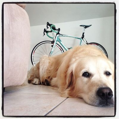 Bianchi Bianchiinfinito TRIATHLON Training goldenretriever amiciaquattrozampe myhome