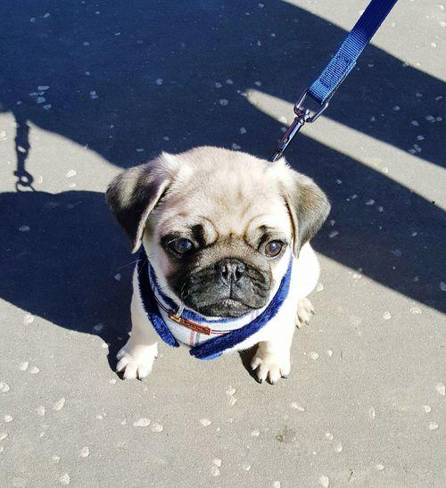 A pug puppy Pug