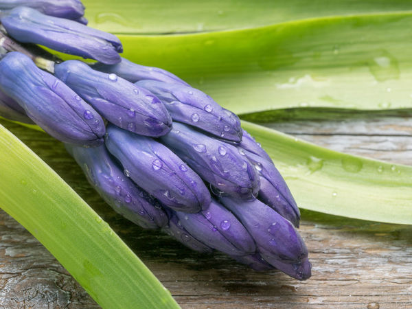 Macro shot of purple Hyacinthus flower for background use.Spring flowers Hyacinthus Orientalis Beauty In Nature Close-up Day Drop Flower Flower Head Food Fragility Freshness Green Color Growth Healthy Eating Leaf Nature No People Outdoors Plant Purple Vegetable Water Wet