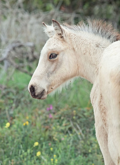 half-wild creamello foal Wild Animal Themes Close-up Creamello Day Domestic Animals Field Foal Freedom Horse Liberty Mammal Nature No People One Animal Outdoors