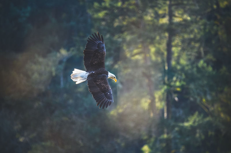 Bald Eagle Bald Eagle In Flight Bald Eagles Bird Bird Of Prey Eagle Flight Flying Flying Bird Mid-air Nature Outdoors Spread Wings