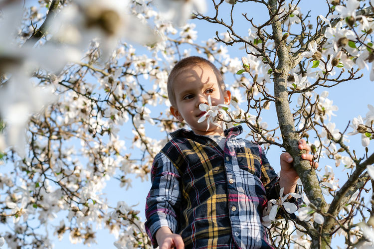 Boy in the branches of magnolia. boy sniffing magnolia flowers.