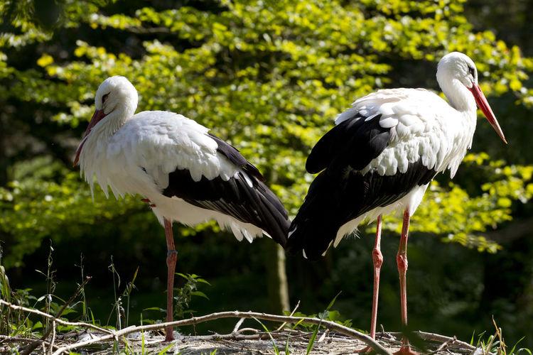 White storks on field