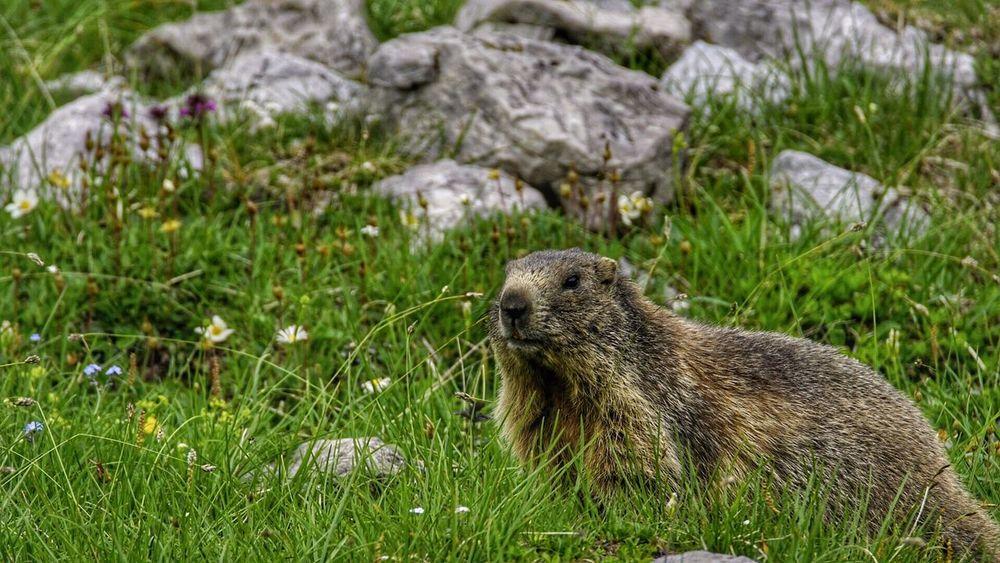 Murmeltier Marmot Animals Animals In The Wild Nature Wildlife Photography Wildlife Nebelhorn Nebelhorn Oberstdorf Germany GERMANY🇩🇪DEUTSCHERLAND@ Holiday