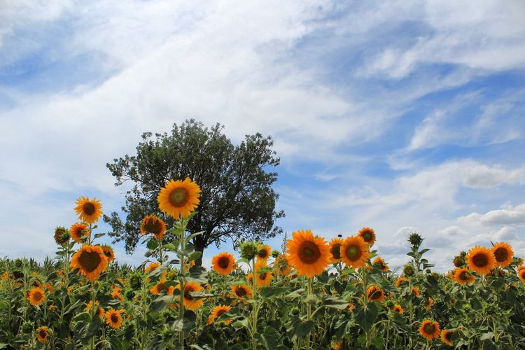 Close-Up Of Sunflowers On Field Against Cloudy Sky
