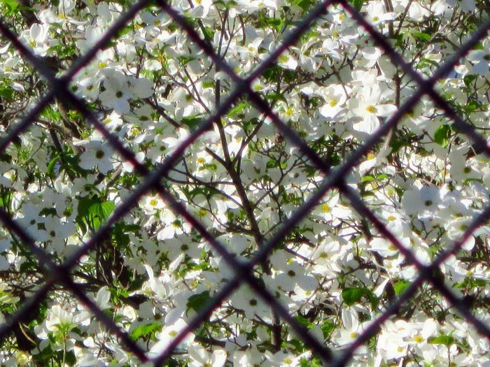 Urban Spring Fever Chainlink Fence Geometrical White Flowers Spring Time Beauty Everywhere