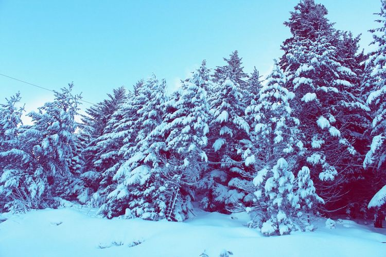 Tree Snow Cold Temperature Winter Mountain Forest Pine Tree Pinaceae Blue Tree Area