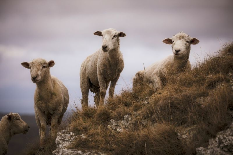 Sheep standing in a field on rocky ground